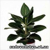 Фикус бенгальский (Ficus benghalesis)
