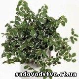 Фикус карликовый(Ficus pumila)
